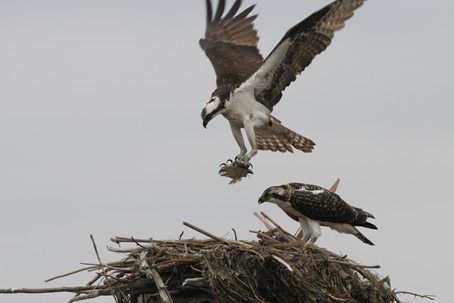 An osprey delivers a fish to a nest at William L. Finley National Wildlife Refuge. Photo credit:  Edmund P. Schulz.