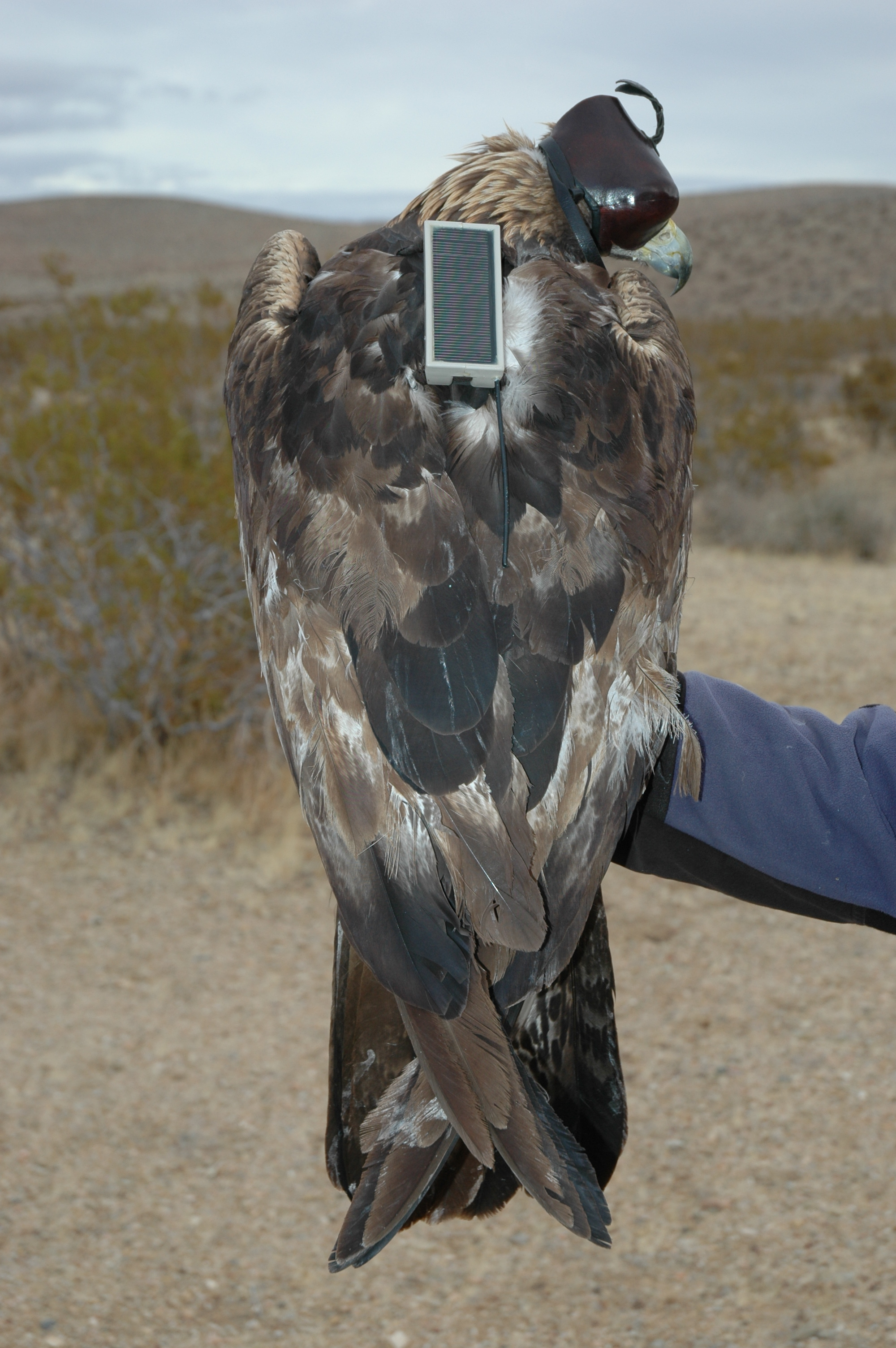 Female golden eagle with GPS-GSM transmitter. From 2012 to 2013, telemetry data were collected from nine eagles outfitted with a backpack holding a GPS-GSM telemetry system. The telemetry system recorded and stored a GPS location every 15 minutes and sent the locations via the GSM network or mobile phone, to a server once per day.
