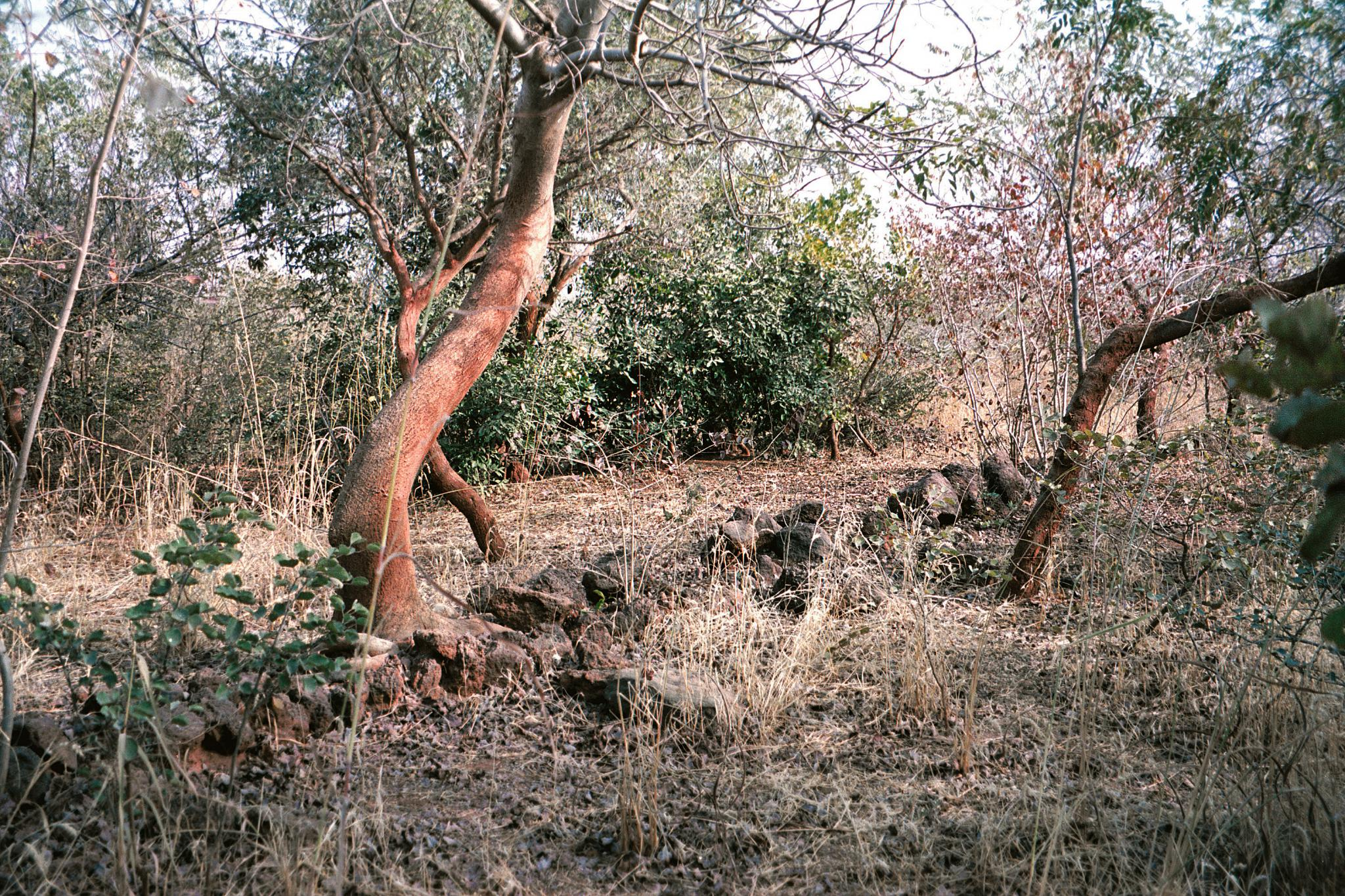 Part of the biodiverse forest created by Yacouba Sawadogo, a farmer innovator near Ouahigouya, Burkina Faso. In 1979, this was a barren plateau until he began rehabilitating his land by planting trees and capturing rainfall and protecting trees on his land. © Gray Tappan/USGS