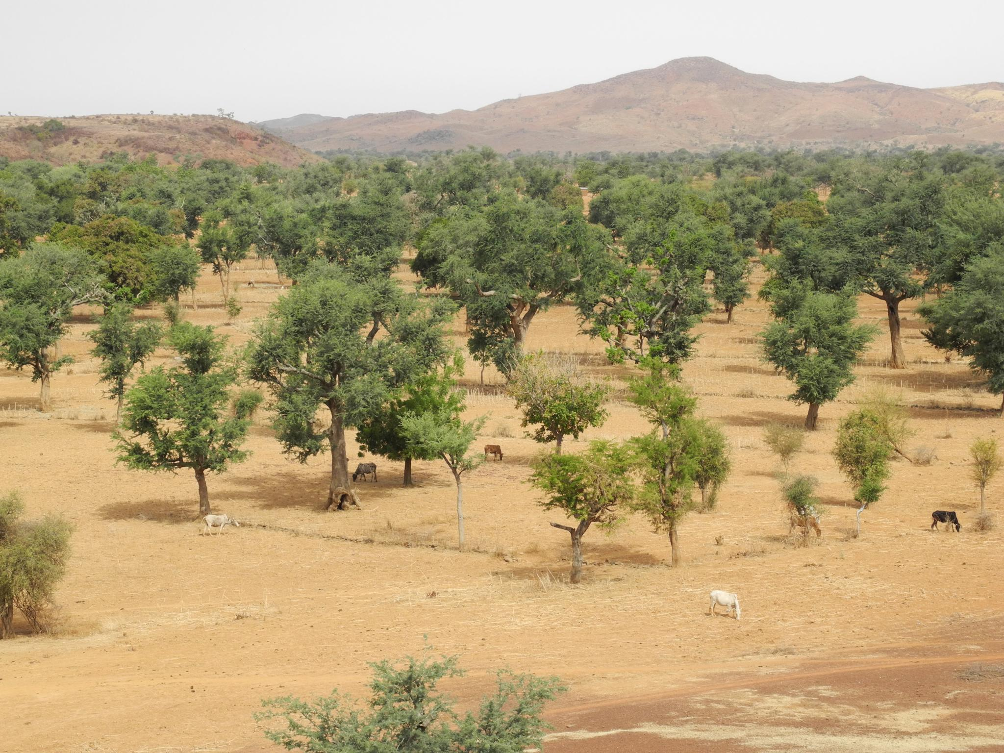Farmer-managed natural regeneration in the broad valley near Rissiam, northern Burkina Faso. Nearly all of the land under the trees is devoted to growing cereal crops. ©Gray Tappan/USGS