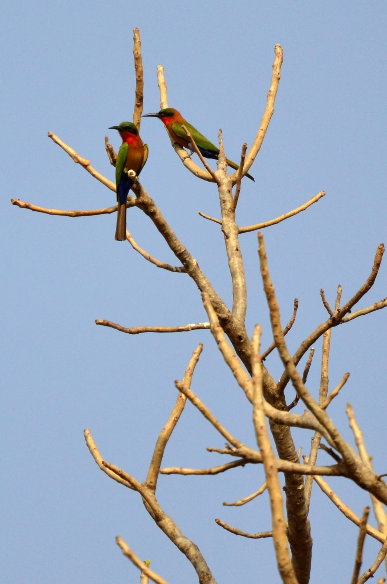 Bee-eaters © Suzanne Cotillon/SGT