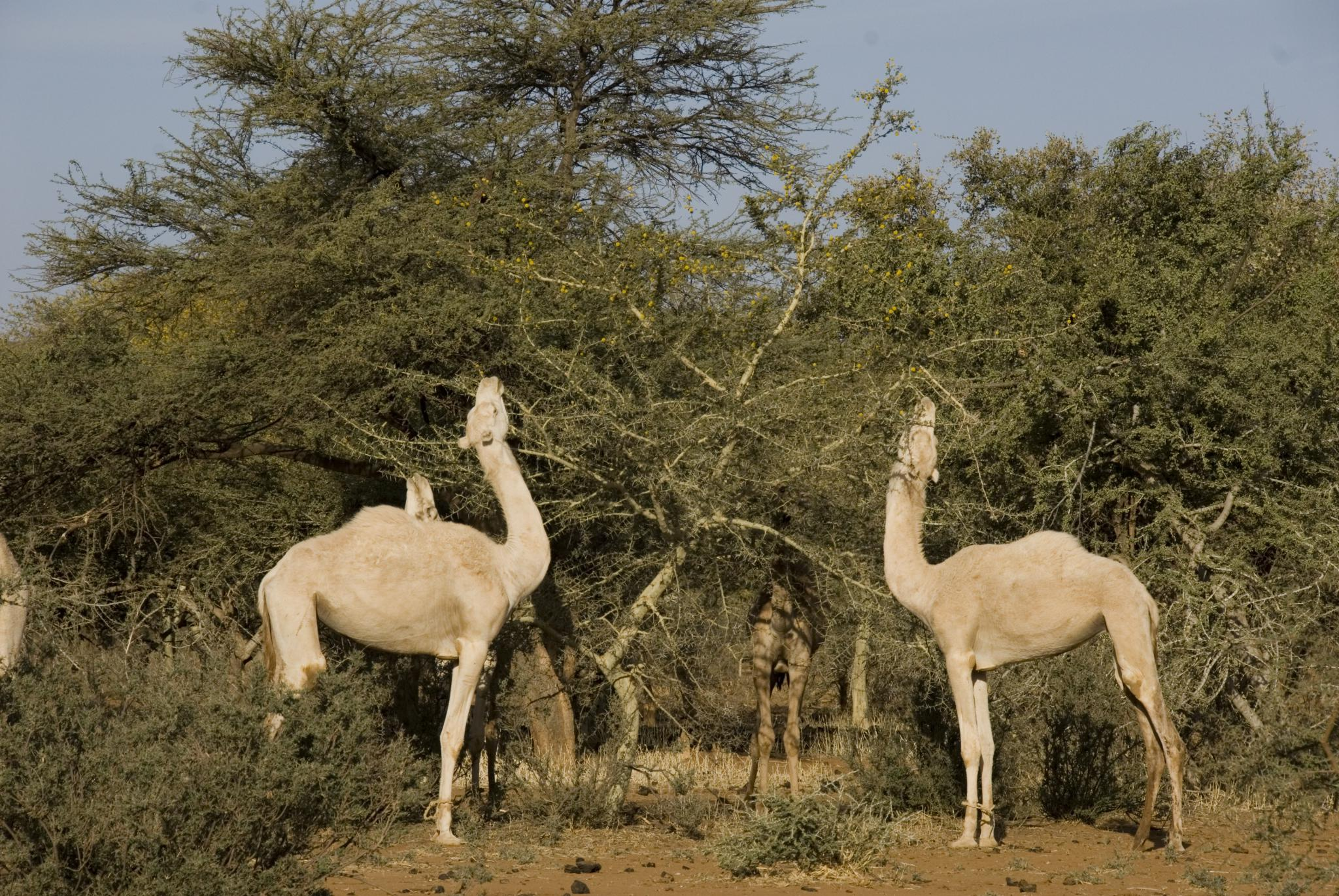 Dense tree parklands near Tahoua, Niger allow year round browsing by livestock ©Michael Fitzgerald